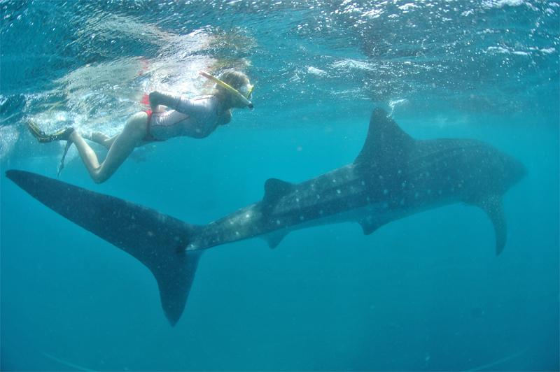 Elischeba mit Walhai in Kenia