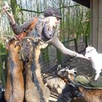 Elischeba beim Ziegen fuettern 2014