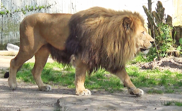Loewe im Zoo