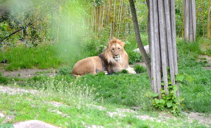 Löwe im Zoo